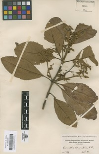 Original material of Brunellia tomentosa Bonpl. [family BRUNELLIACEAE]