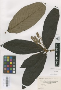 Original material of Clethra [family CLETHRACEAE]
