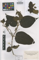 Original material of Not on sheet [family MELASTOMATACEAE]