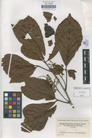 Filed as Allophylus excelsus (Triana & Planch.) Radlk. [family SAPINDACEAE]
