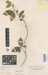 Original material of Mendoncia glabra Poepp. & Endl. [family ACANTHACEAE]