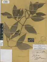 Isotype of Piper jericoense Trel. & Yunck. [family PIPERACEAE]