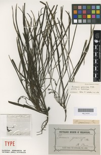 Isolectotype of Persoonia graminea R.Br. [family PROTEACEAE]
