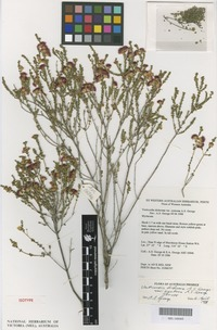 Isotype of Verticordia dichroma A.S.George var. syntoma [family MYRTACEAE]