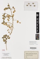 Isotype of Medicago commutata Tod. [family FABACEAE]