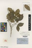 Syntype of Backhousia sciadophora F.Muell. [family MYRTACEAE]