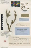 Holotype of Daviesia abnormis F.Muell. [family FABACEAE]