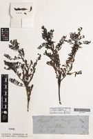 Syntype of Eremophila beckeri F.Muell. [family SCROPHULARIACEAE]