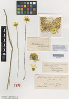Holotype of Helichrysum subulifolium F.Muell. [family ASTERACEAE]