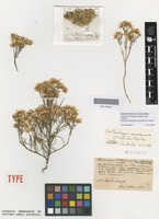 Syntype of Pteropogon ramosissimus F.Muell. [family ASTERACEAE]