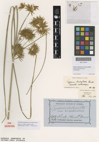 Isolectotype of Cyperus dactylotes Benth. [family CYPERACEAE]
