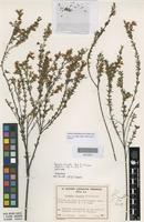 Isotype of Boronia virgata Paul G.Wilson [family RUTACEAE]