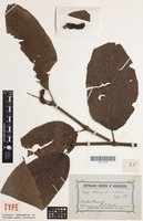 Isotype of Piper obesispicum S.Moore [family PIPERACEAE]