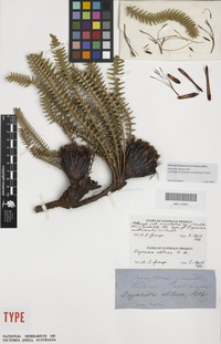 Lectotype of Dryandra multiserialis F.Muell. [family PROTEACEAE]