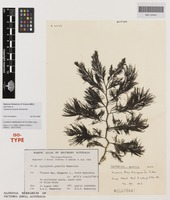 Isotype of Cystophora gracilis Womersley [family SARGASSACEAE]