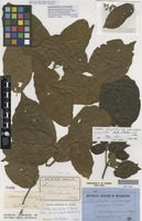 Isotype of Mallotus claoxyloides Benth. var. macrophyllus [family EUPHORBIACEAE]