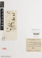 Lectotype of Brachyscome lyrifolia J.M.Black [family ASTERACEAE]