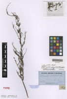 Isotype of Acacia scabra Benth. [family FABACEAE]