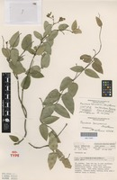 Isotype of Parsonsia larcomensis J.B.Williams [family APOCYNACEAE]