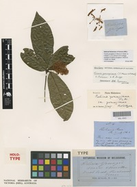 Holotype of Helicia youngiana C.Moore & F.Muell. ex F.Muell. [family PROTEACEAE]