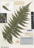 Syntype of Alsophila leichhardtiana F.Muell. [family CYATHEACEAE]