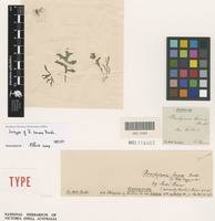 Isotype of Brachyscome tenera Benth. [family ASTERACEAE]