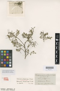 Isolectotype of Dodonaea physocarpa F.Muell. [family SAPINDACEAE]