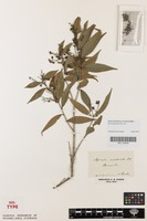 Isotype of Myrcia rostrata DC. [family MYRTACEAE]