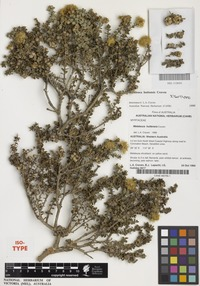 Isotype of Melaleuca huttensis Craven [family MYRTACEAE]