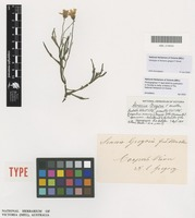 Holotype of Senecio gregorii F.Muell. [family ASTERACEAE]
