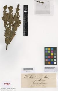 Syntype of Orites lancifolia F.Muell. [family PROTEACEAE]