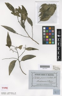 Syntype of Celtis ingens F.Muell. [family CANNABACEAE]