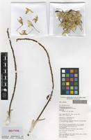 Isotype of Dendrobium speciosum Peter B.Adams var. blackdownense [family ORCHIDACEAE]
