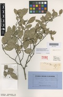 Syntype of Taxotrophis rectinervis F.Muell. [family MORACEAE]