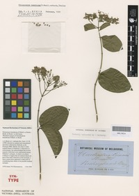 Syntype of Clerodendrum hemiderma F.Muell. ex Benth. [family LAMIACEAE]