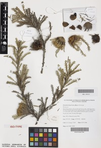 Isotype of Dryandra fraseri A.S.George var. effusa [family PROTEACEAE]