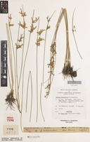 Holotype of Juncus subsecundus N.A.Wakef. [family JUNCACEAE]