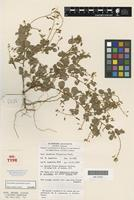 Isotype of Desmodium pycnotrichum Pedley [family FABACEAE]