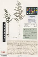 Isotype of Trichomanes johnstonense F.M.Bailey [family HYMENOPHYLLACEAE]