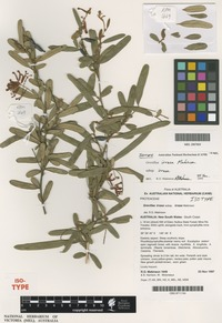 Isotype of Grevillea irrasa Makinson [family PROTEACEAE]