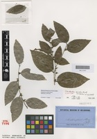 Syntype of Cleistanthus apodus Benth. [family PHYLLANTHACEAE]