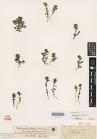 Syntype of Euphrasia alsa F.Muell. [family OROBANCHACEAE]