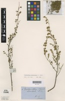 Syntype of Prostanthera canaliculata F.Muell. [family LAMIACEAE]