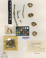 Isotype of Agathis microstachya J.F.Bailey & C.T.White [family ARAUCARIACEAE]