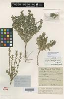 Isolectotype of Dampiera stenophylla K.Krause [family GOODENIACEAE]