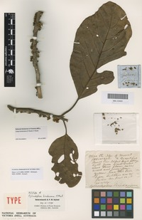 Holotype of Cylicodaphne bindoniana F.Muell. [family LAURACEAE]