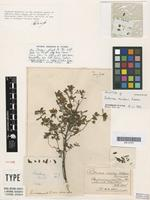 Holotype of Pultenaea maidenii Reader [family FABACEAE]