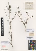 Isotype of Candollea striata Steud. [family DILLENIACEAE]