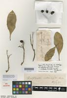 Syntype of Halfordia scleroxyla F.Muell. [family RUTACEAE]