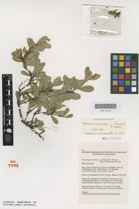 Isotype of Persoonia procumbens L.A.S.Johnson & P.W.Weston [family PROTEACEAE]